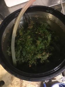 25L vann og halv bøtte med einer ble kokt i 20 minutter. Greinene ble tatt ut og den stod til neste dag.